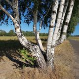 Betulla d'argento con parecchi tronchi, Betula Pendula fotografia stock