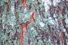 Betulla del tronco di struttura nella neve Immagini Stock Libere da Diritti
