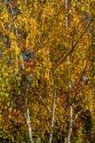 Betulla dell'oro di autunno Tronchi della betulla bianca sui precedenti di fogliame giallo degli alberi Giorno soleggiato allegro fotografia stock libera da diritti