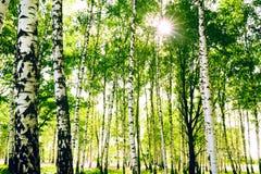 Betulla della foresta Immagini Stock Libere da Diritti
