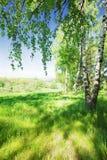 Betulla della foresta Immagine Stock
