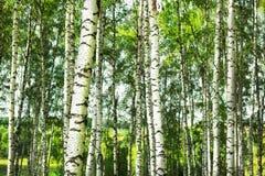 Betulla della foresta Fotografia Stock Libera da Diritti