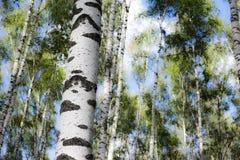 Betulla della foresta Immagine Stock Libera da Diritti