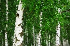 Betulla della foresta Fotografie Stock Libere da Diritti