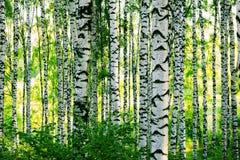 Betulla della foresta Fotografie Stock