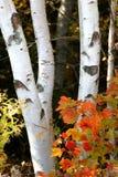 Betulla della foresta Fotografia Stock