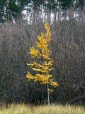 Betulla della foresta di autunno sui precedenti dei boschetti del cespuglio Immagini Stock