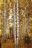 Betulla della foresta nei colori di autunno Immagini Stock Libere da Diritti