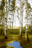 Betulla della foresta vicino ad uno stagno Immagini Stock