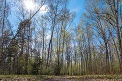Betulla della primavera contro il cielo blu Immagini Stock Libere da Diritti