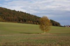 Betulla di autunno Immagine Stock