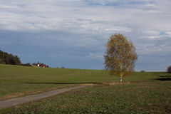 Betulla di autunno Fotografia Stock