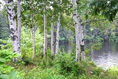 Betulla di Riverview fotografia stock libera da diritti