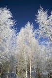 Betulla di Snowy sul fondo del cielo blu Fotografia Stock Libera da Diritti