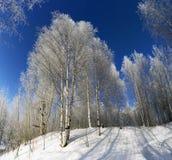 Betulla di Snowy sul fondo del cielo blu Immagine Stock Libera da Diritti