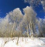 Betulla di Snowy sul fondo del cielo blu Immagini Stock Libere da Diritti