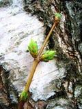Betulla e germoglio Fotografia Stock Libera da Diritti