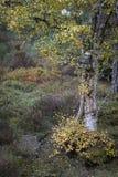 Betulla e Moorland negli altopiani della Scozia fotografie stock