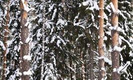 Betulla e pino innevati Fotografia Stock