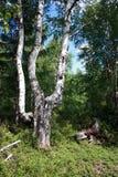 Betulla ed albero mozzo Immagine Stock Libera da Diritti