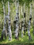 Betulla Foresta della betulla di estate Fotografie Stock Libere da Diritti