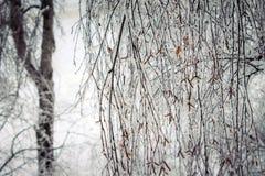 Betulla nel gelo Fotografia Stock Libera da Diritti