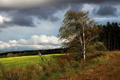 Betulla nel vento Fotografia Stock Libera da Diritti