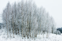 Betulla nell'inverno Fotografia Stock Libera da Diritti