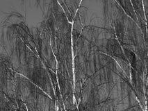 Betulla piangente nell'inverno Fotografia Stock