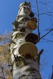 Betulla Polypore di betulinus di Piptoporus su un albero di betulla d'argento morto con cielo blu come fondo Prospettiva bassa Fotografia Stock Libera da Diritti