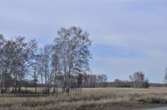 Betulla in primavera in un campo spazioso fotografia stock libera da diritti
