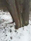 Betulla rossa Fotografia Stock Libera da Diritti