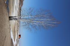 Betulla senza foglie contro il cielo blu immagine stock