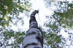 Betulla sola in parco fotografie stock