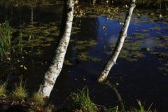 Betulla sulla banca di uno stagno Fotografia Stock