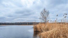 Betulla sulla riva del lago in autunno Immagini Stock Libere da Diritti