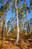 Betulla in un'abetaia di autunno alla luce calda del sole fotografia stock libera da diritti