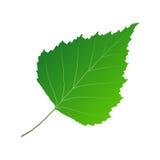 Betulla verde della foglia Fotografie Stock