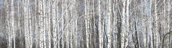 Betulle bianche nel boschetto della betulla Immagini Stock Libere da Diritti