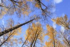 Betulle di autunno Fotografia Stock Libera da Diritti