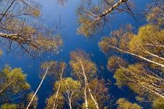Betulle e cielo Fotografia Stock Libera da Diritti