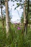 Betulle il primo piano bianco in alta erba verde e fiori Fotografia Stock Libera da Diritti
