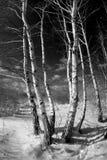 Betulle in inverno Fotografia Stock