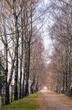 Betweem de route de ruelle et de gravier d'arbre de bouleau elles. Image stock