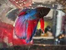 Bety ryba Obraz Royalty Free