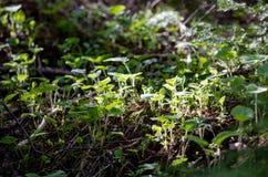 Beuaitulf与发光的太阳的绿色风景通过松树 免版税库存图片