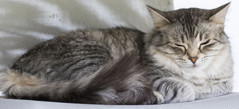 Beuatiful cat in the house in sleeping time,silver color Royalty Free Stock Images