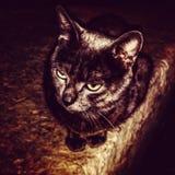 beuatiful Cat royalty free stock image