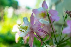 Beuatiful pink aquilegia flower blooming in the garden. During spring Stock Photos