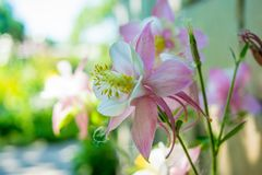 Beuatiful pink aquilegia flower blooming in the garden during summer. Time Royalty Free Stock Photography